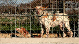 Aggressive dogs locked and tied in a kennel cage Filmmaterial