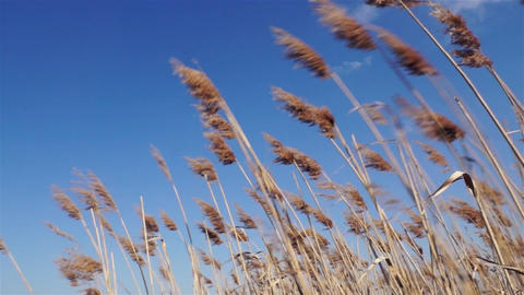 reeds swaying in strong winds in summer Footage