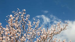 cherry blossom blossoms blossoming tree trees bloom blooming plum almond branch Footage