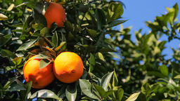 oranges orange tree orchard fruit orange-tree hanging citrus wind sunny organic Footage