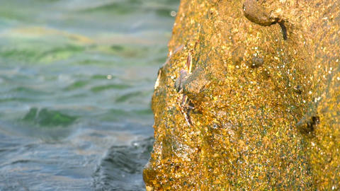 Crabs and rockskippers on the rock at the beach Live Action