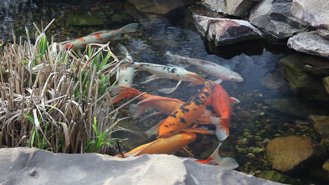 Koi swimming in a pond Footage