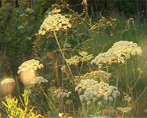 wildflowers in the sunlight backlitполе Footage