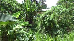 Malaysia Penang island 025 exotic gardens with banana trees Footage