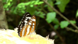Malaysia Penang island 040 black and white patterned butterfly on pineapple Footage