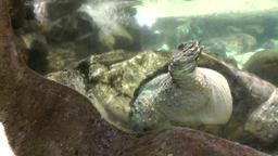 Malaysia Penang island 046 giant turtle under water in aquarium Footage