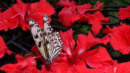 Malaysia Penang island 048 black and white patterned butterfly on red flower Bild