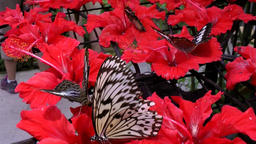 Malaysia Penang island 049 black and white patterned butterflies on red flower Footage