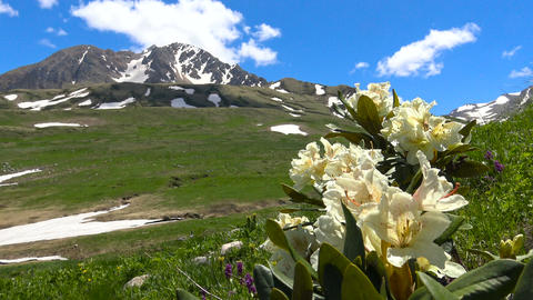 In the Caucasian reserve the rhododendrons bloom. Russia Footage