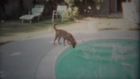 1963: Dog carefully drinking from swimming pool on hot summer day. SAN DIEGO, CA Footage