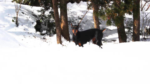 The Doberman pinscher. At a snow-covered mountain Filmmaterial