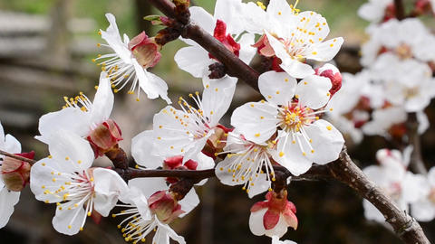 Blossoming apricot tree branch with many beautiful white flowers Footage