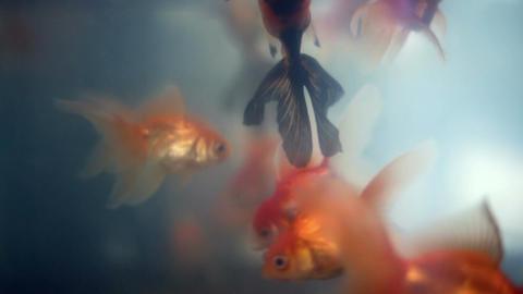 Upside down floating and drowning bizarre orange black goldfish Footage