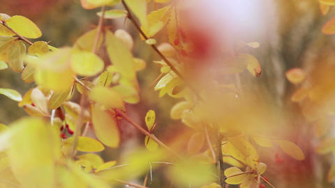 Autumn barberry Footage
