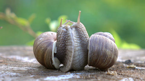 Two videos of snails love in 4K Footage