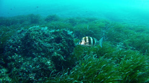 Imperial Bream - Diving in Mallorca Footage
