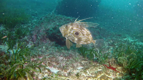 Diving in Mallorca - John Dory Footage