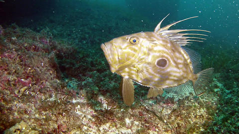 Diving in Spain Mallorca - John Dory Fish Live Action