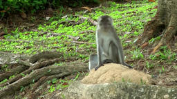 South Eeast Asia Brunei Bandar Seri Begawan monkey sits on a tree root Footage