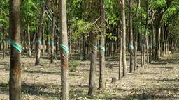 Vietnam Phú Mỹ district villages 009 caoutchouc tree plantation Footage