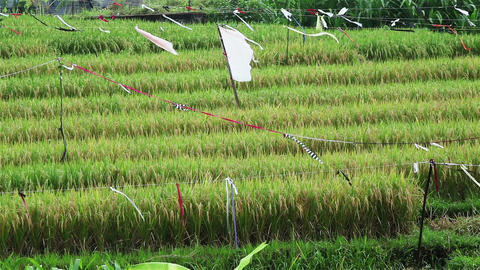 Rice field in a village Footage