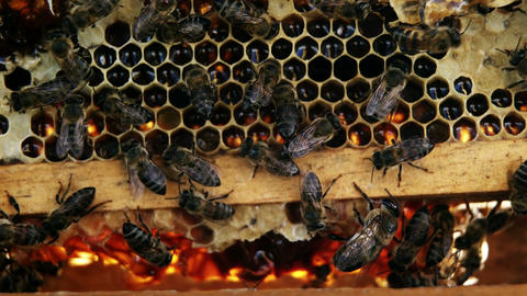 Close-up of honey bee frame covered with bees Footage