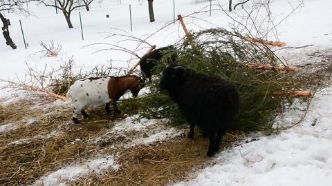 Feeding goats in snow