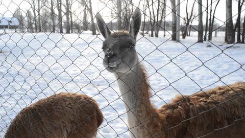 Llama eat snow Filmmaterial