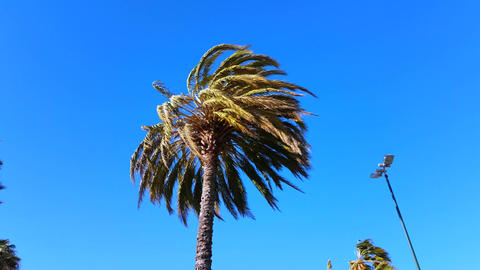 Palm Trees Blow in Strong Wind Footage