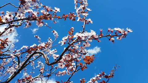 Cherry Blossom in Spring ビデオ