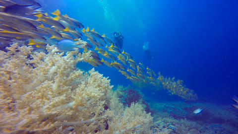 A colorful flock of snappers fish. Diving in the Red sea near Egypt Live Action