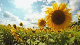 Field of Sunflowers 3