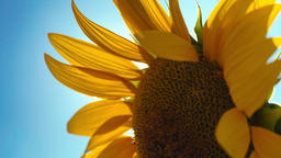 Sunflower 1 and Sun Flares Blu Sky Footage