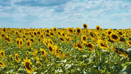 Field of Sunflowers 2 ビデオ