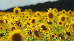 Field of Sunflowers 4 ビデオ