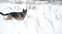 German Shepherd dog playing In A Snow Footage