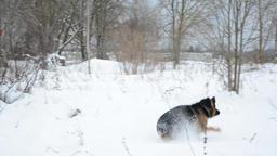 German Shepherd dog, playing outdoor in snow 画像