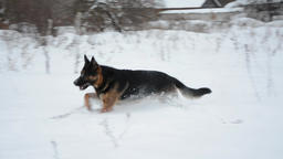 German Shepherd dog playing In A Snow. Winter background. Cold weather Footage