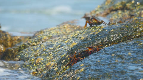 Crabs on the rock at the beach ビデオ
