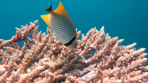 Butterfly fish Footage