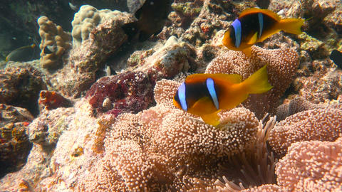 Diving in the Red sea near Egypt. Symbiosis of clown fish and anemones Footage