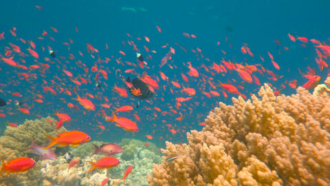 Diving in the Red sea near Egypt. Gorgeous colorful coral reef Live Action