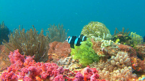 Symbiosis of clown fish and anemones.Amazing diving on the reefs of Malapascua i Footage