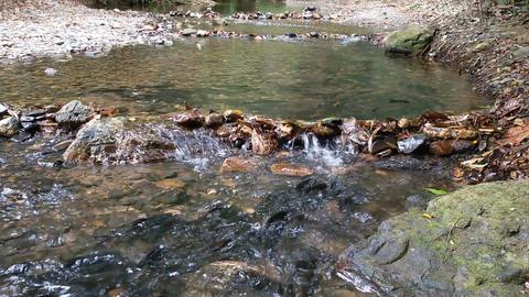 Flock of salmon on spawning