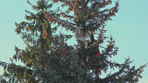 Man is Sawing a Fir Tree with a Chainsaw Footage