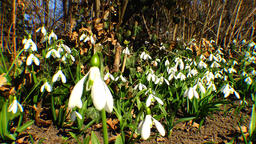 Snowdrops, rare and endangered plants of the south of Ukraine Live Action