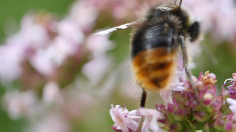 Four videos of bumble bee in the flowers in slow motion Footage