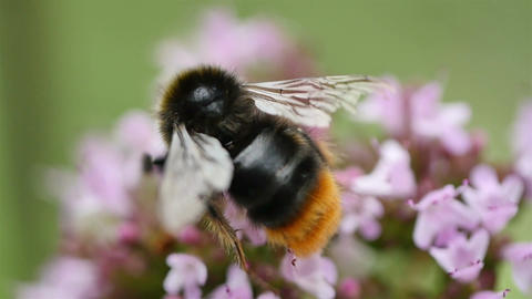 Two videos of bumble bee in the flowers in slow motion Footage