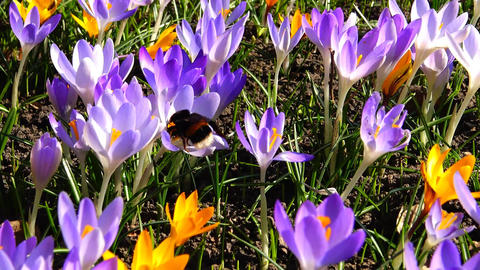 Bumblebee collects honey on purple crocus flowers Footage