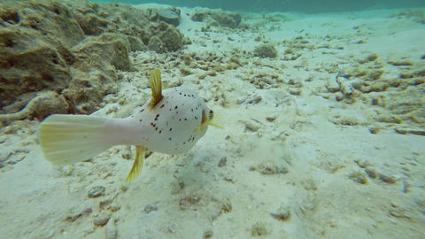 White puffer and thalassoma fish in sea Footage